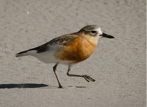 New Zealand dotterel on Pakiri Beach sand