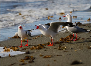Red-billed gull on Pakiri Beach
