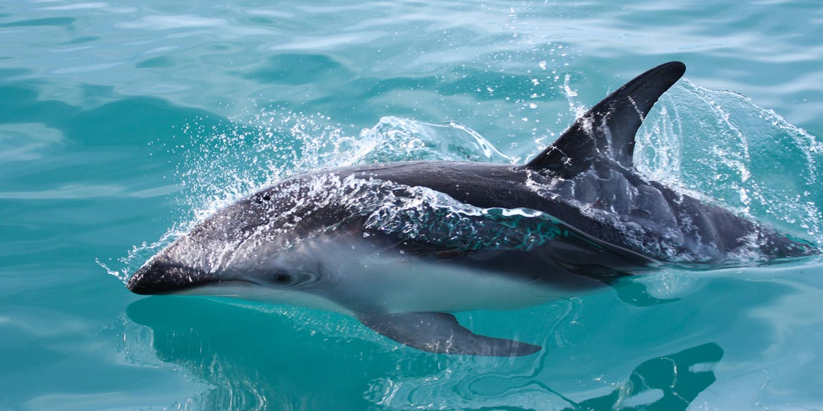 Dolphin swimming in Pakiri Beach water New Zealand