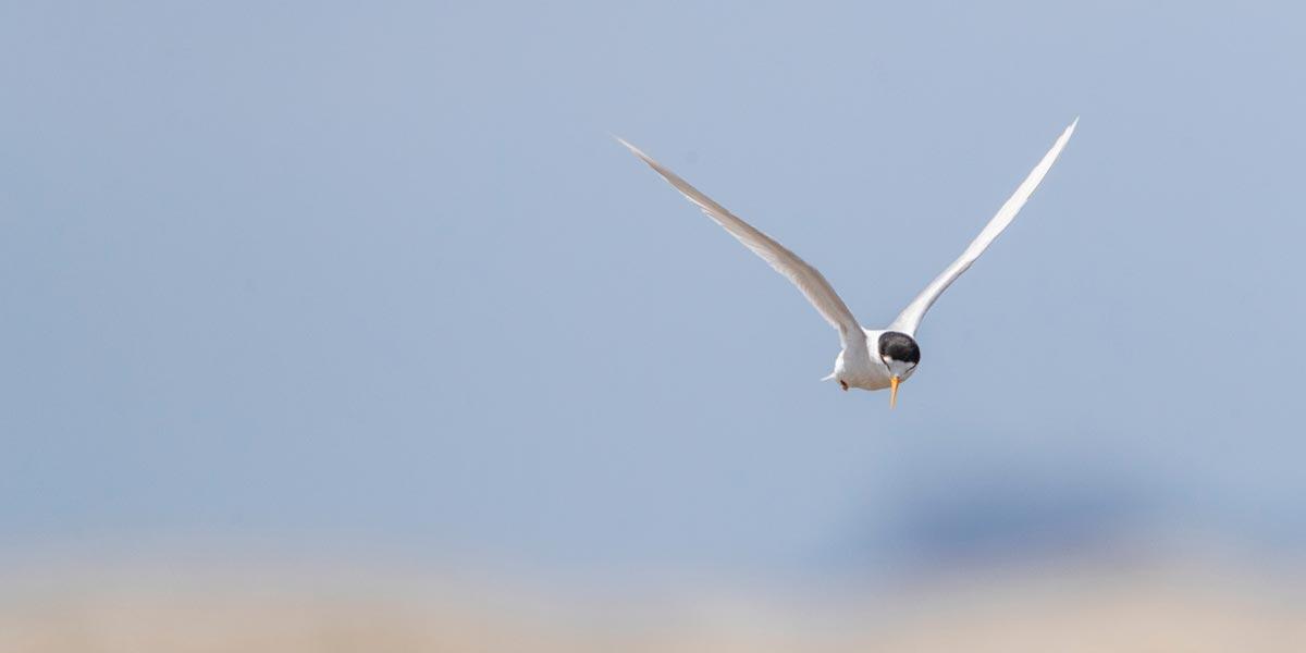 Critically endangered Fairy Tern Pakiri Beach